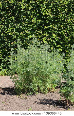 Artemisia Absinthium (absinthe) Plant In A Herb Garden