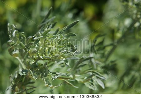 An Artemisia absinthium (absinthe) plant with blossoms.