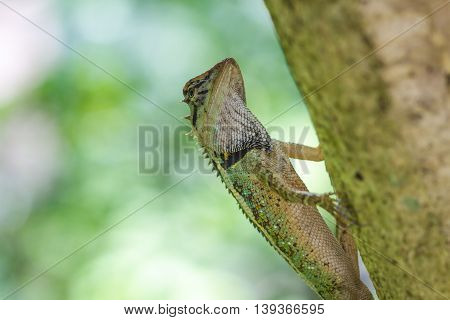 Close Up Green Crested Lizard
