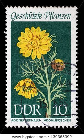 ZAGREB, CROATIA - JULY 02: A stamp printed in the DDR (East Germany) shows Protected Plants Spring Pheasants Eye, Adonis vernalis, circa 1969, on July 02, 2014, Zagreb, Croatia