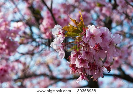 Soft focus Cherry Blossom or Sakura flower on nature background at Kawazu park
