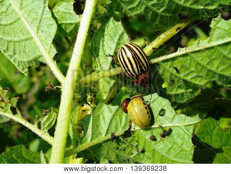 Closeup of Colorado potato beetles on the potato leaf