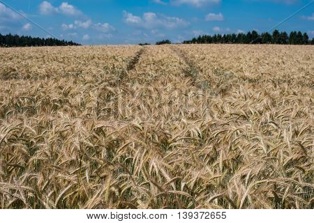 wheat field before blue sky - agriculture