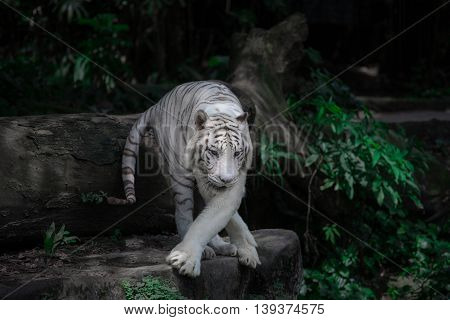 White tiger comes on the plants background