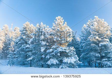 Wintry Landscape Snowy Fir Trees
