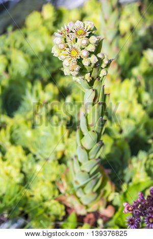 Decorative garden plant a rose of Stone (Sempervivum). Stems with flowers