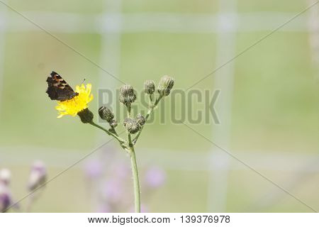 a small  butterfly pollinating a yellow flower
