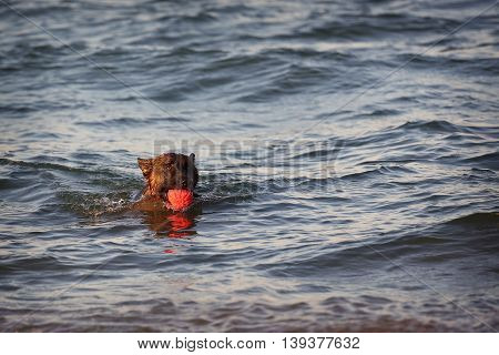 German shepherd dog floating in the sea with the ball.