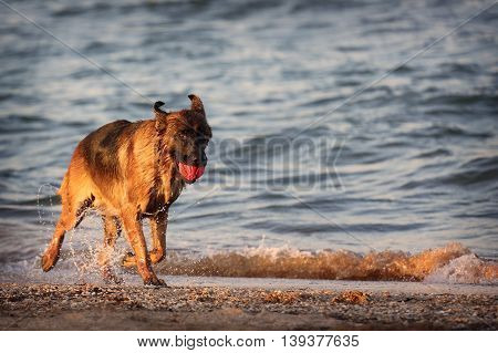 German shepherd runs along the beach. Wet dog plays by the sea with the ball.