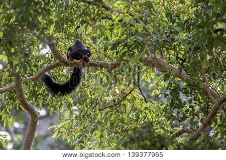The Indian giant squirrel or Ratufa indica in the Sandalwood forest reserve in Marayoor, Kerala, India