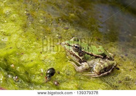 Southern Leopard Frog in its habitat, in a farm in Bahrain