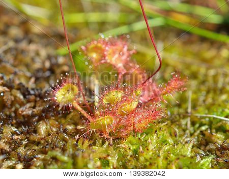 Drosera rotundifolia, the round-leaved sundew or common sundew, is a species of sundew, a carnivorous plant often found in bogs, marshes and fens