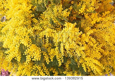 Fresh Yellow Acacia Dealbata Mimosa Flowers Bouquet in Bloom
