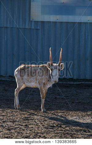 Spring image of male saiga (Saiga tatarica) standing on dry ground