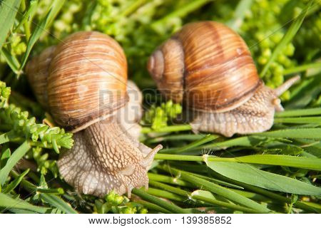 two snails are crawling in the green grass.