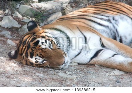 Tiger resting under the shade of a tree.