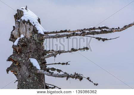 Winter Broken Trunk Tree. Background With Dry Interesting Shaped Trunk Covered With Snow. .