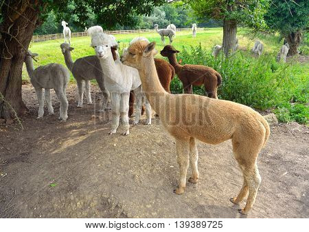 Alpacas grouped together under trees out in field.