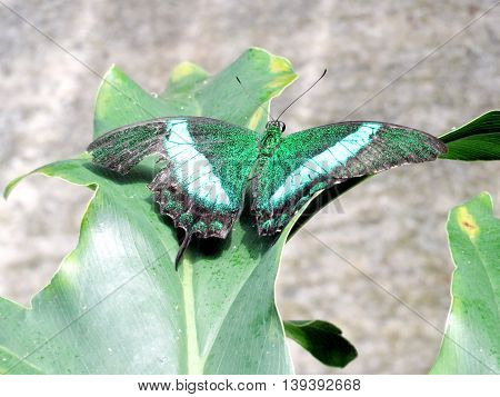 Papilio palinurus butterfly in garden of Niagara Falls Ontario 16 July 2016 Canada