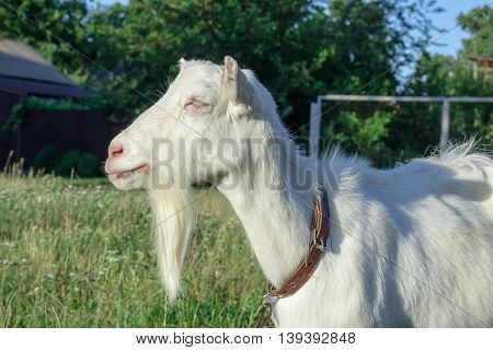 White goat grasses on village field countryside vacation