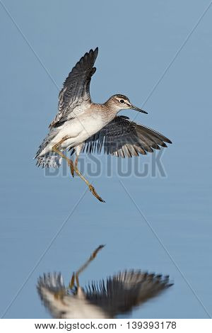 Wood sandpiper (Tringa glareola) in flight with blue water in the background