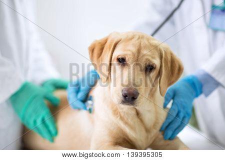 Cute puppy visit vet ambulance, close up