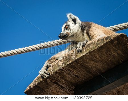 Portrait Of Lemur With A Striped Tail Sitting On The Shelf, Athens, Greece