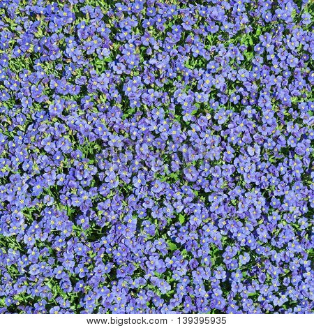 Square floral background with multiplicity wild small blue flowers of Aubrieta