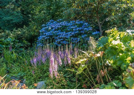A view of a bush with vibrant blue flowers with other flowers in the foreground.