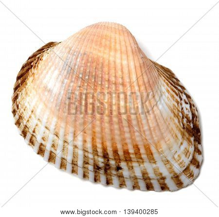 Seashell isolated on the white background .