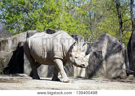 A black rhinoceros (Diceros bicornis) walks slowly forward.