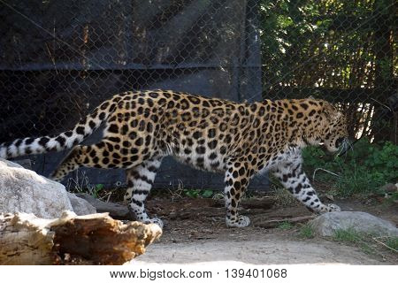 An Amur leopard (Panthera pardus orientalis) paces next to a chain link fence.