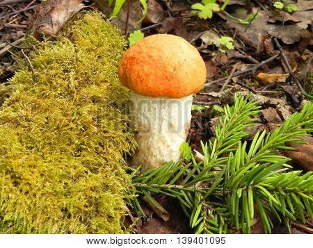 Edible mushroom in the forest is shown in image.