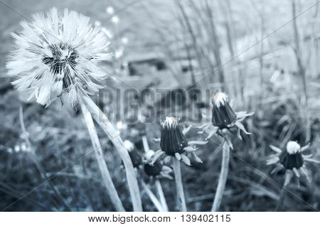 Blooming Dandelion Flowers, Blue Toned