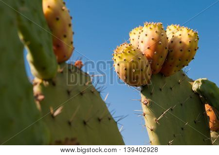 Cactus Plant And Prickly Pears