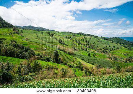 Corn fields on mountain under blue sky