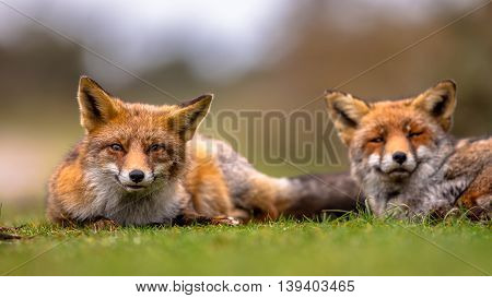 Couple Of  European Red Fox