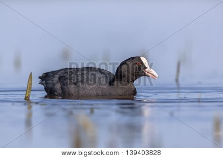 Eurasian Coot Waterfowl Swimming In Blue Water And Looking In Camera