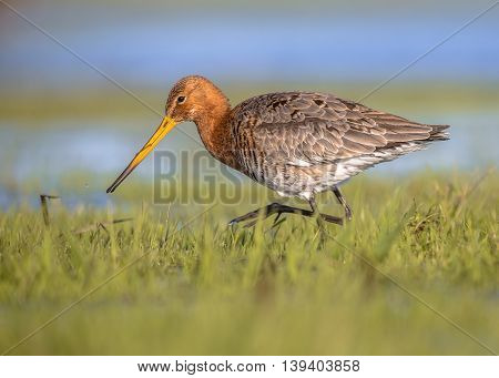 Black Tailed Godwit Running Through Grass