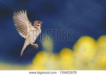 bird Sparrow is flying with its wings outstretched against the blue sky