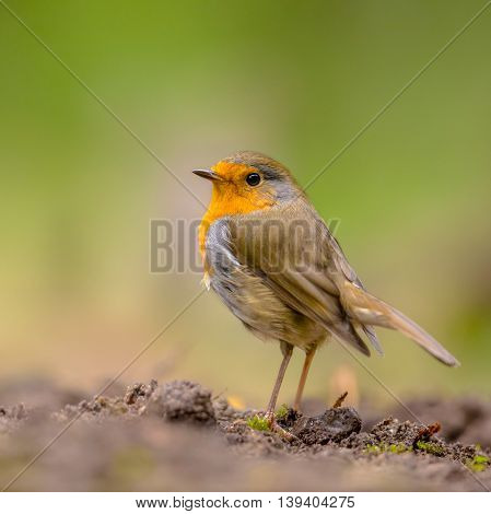 Curious Red Robin Looking Over Shoulder