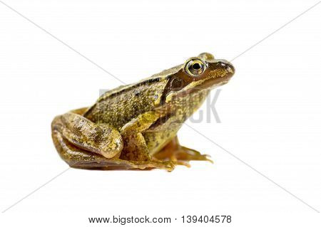 Common Brown Frog Sideview Look