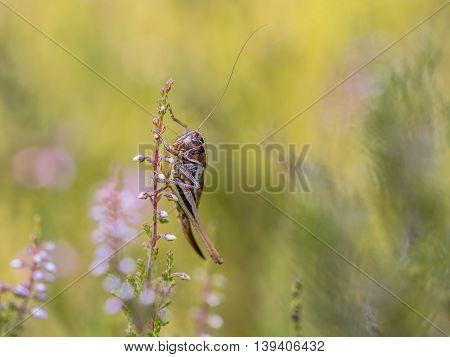 Bog Bush Cricket