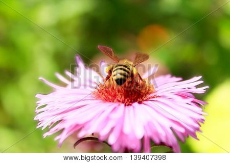 bee sits on the aster and collects nectar