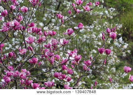 Blooming magnolia tree in the garden. Nature