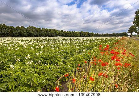 Organic Potato Field