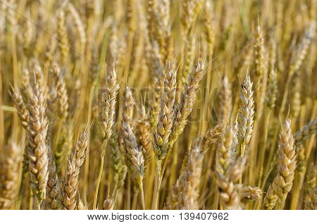 spikelets of wheat ripening in the field close up in summer