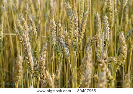 bundle of ears of wheat ripening in the field of human hand