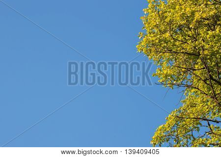 Unusual green tree branches and real blue sky a cloudless summer day. For background use. Lots of place for writing text around it.