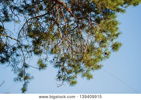 Green branches of coniferous tree and blue sky a cloudless summer day , for background use